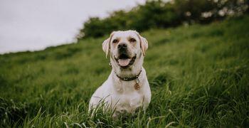 Očkování psů proti vzteklině
