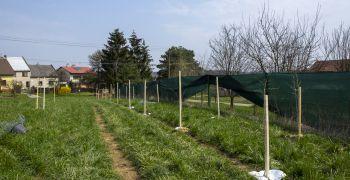 Výsadba ovocných dřevin v Bělově