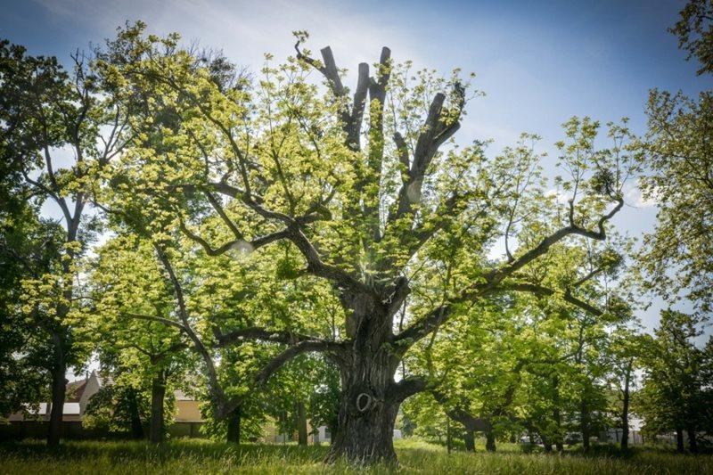 Stromem roku 2017 se stal ořešák černý z Kvasic