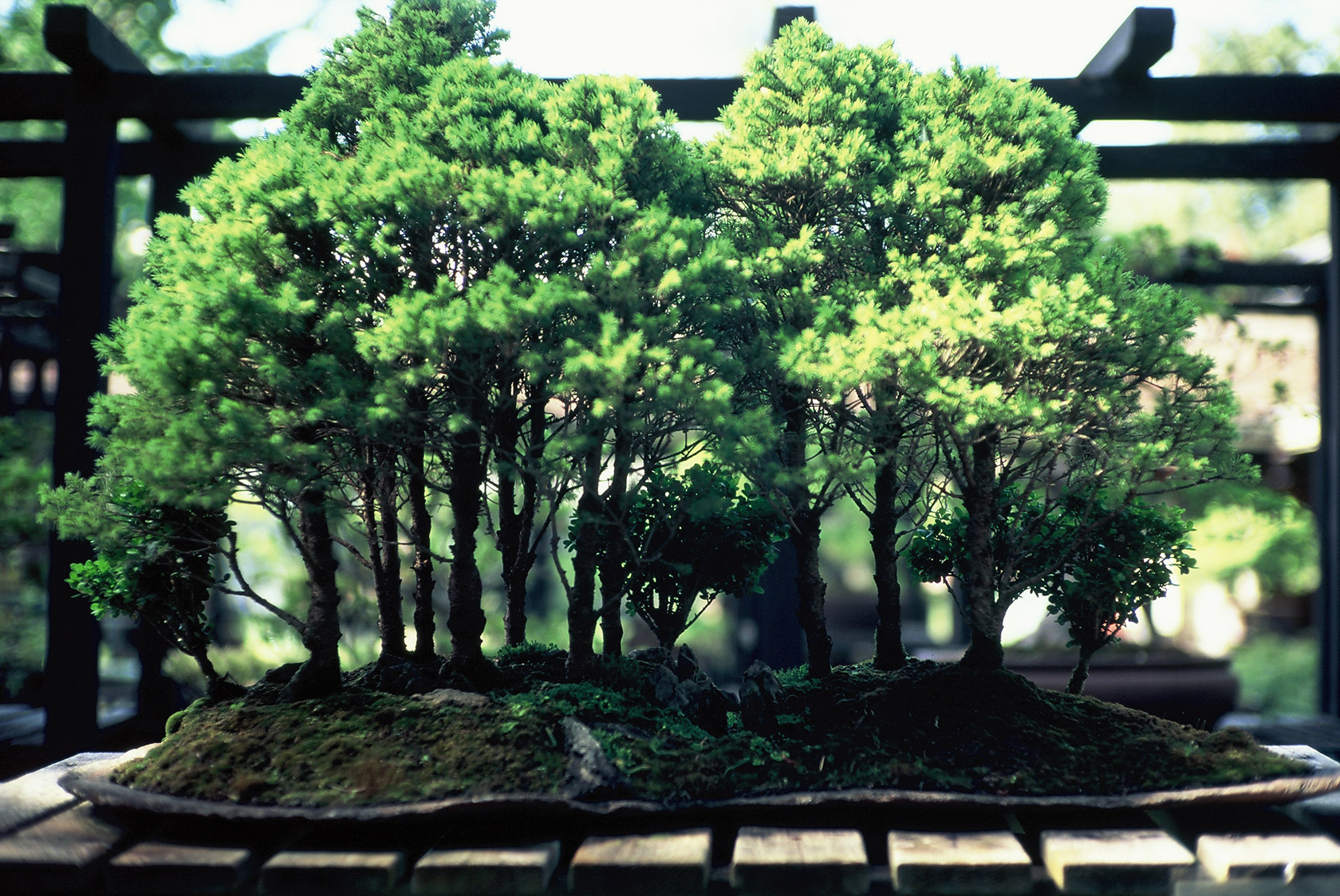 Floria podzim, bonsai